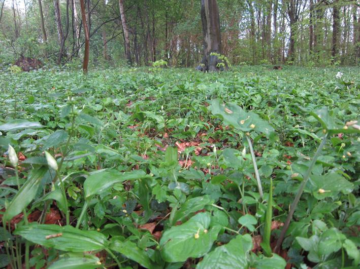 Bärlauch botanischer volkspark pankow ANTI